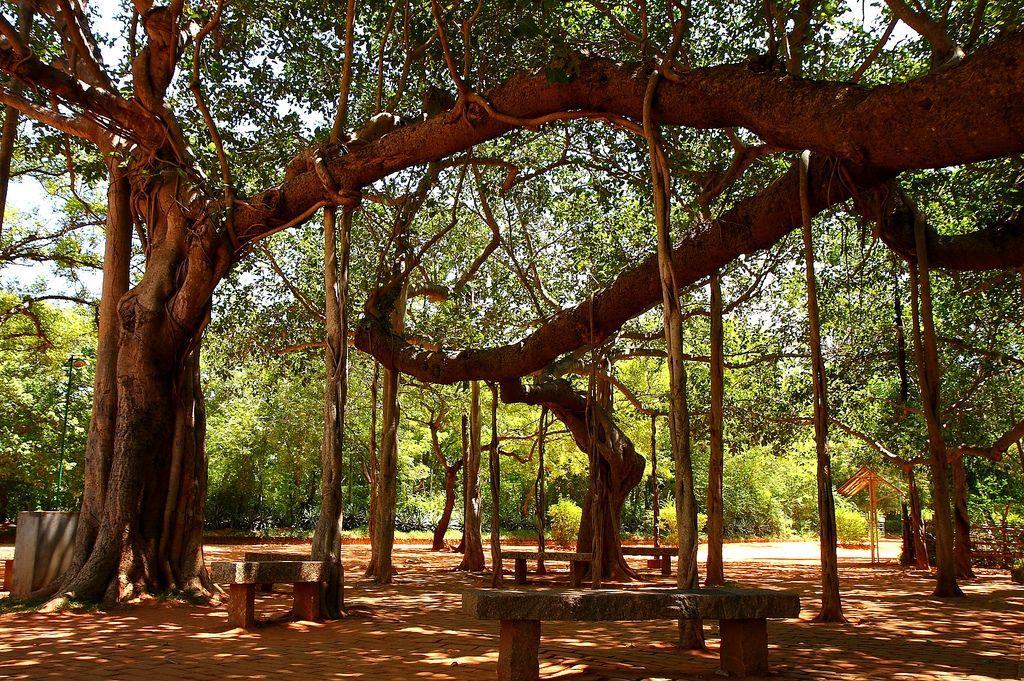 ઓરોવિલમાં આવેલું ઐતિહાસિક વડનું ઝાડ. જેની નીચે 124 દેશની માટી કળશમાં મુકાઈ હતી.