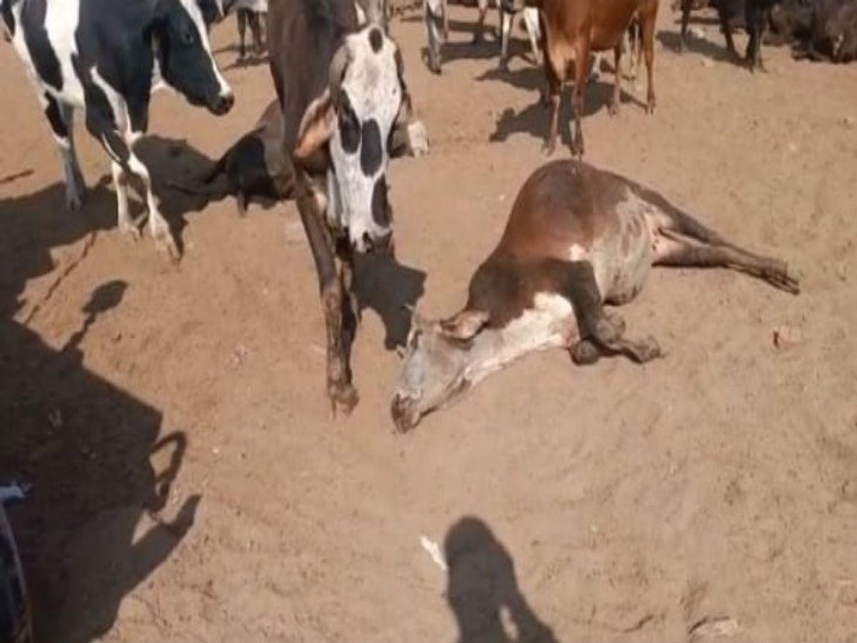 Major incident with cows in Panchkula, more than 80 cows died and 30  injured. | पंचकूला में गायों के साथ हुई बड़ी घटना, एक साथ 80 से ज़्यादा  गायों की मौत - Dainik Bhaskar