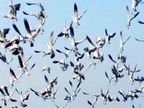 लंंबा सफर कर आए विदेशी पक्षी; बार हेडिड गीज, चिफचेफ, रूडी प्रजाति का मार्च तक यही ठिकाना|शिमला,Shimla - Dainik Bhaskar
