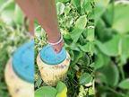 मराेड़ी व हाजीपुर में पुलिस की रेड, 5600 लीटर लाहन, शराब की चालू भट्ठी पकड़ी