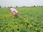बारिश नहीं होने से सोयाबीन फसल पर पीला मोजेक का अटैक, पत्ते पीले पड़े, डंठल सूखे