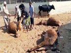 पोस्टमार्टम में खुलासा- पंचकूला की गोशाला में फूड प्वाइजनिंग से हुई थी गायों की मौत; जांच कमेटी शुक्रवार को सौंपेंगी रिपोर्ट|चंडीगढ़,Chandigarh - Dainik Bhaskar