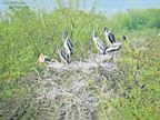 सकरावास तालाब को पेंटेड स्टॉर्क पक्षी ने बनाया आशियाना|राजसमंद,Rajsamand - Dainik Bhaskar
