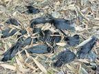 भोपाल लैब की रिपोर्ट में कौओं की मौत बर्ड फ्लू से नहीं होने की पुष्टि, संभागीय आयुक्त ने मांगा एक्शन प्लान|जोधपुर,Jodhpur - Dainik Bhaskar
