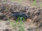 कौवों के मरने का सिलसिला जारी, सांई बाग कॉलोनी में एक सूअर की भी मौत|उज्जैन,Ujjain - Dainik Bhaskar
