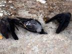 इंदौर-नीमच में मृत मिले कौवों वाले एरिया से 1 KM दायरे में चिकन-मटन की दुकानें 7 दिन के लिए बंद|भोपाल,Bhopal - Dainik Bhaskar
