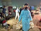 कौओं के बाद अब मुर्गी में मिला बर्ड फ्लू का वायरस, ब्रिटेन से लौटे यात्री में कोरोना के नए स्ट्रेन की पुष्टि|इंदौर,Indore - Dainik Bhaskar
