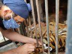 भिलाई के मैत्रीबाग में मादा रॉयल बंगाल टाइगर वसुंधरा ने इलाज के दौरान तोड़ा दम; किडनी फेल होने से थमी सांसे|छत्तीसगढ़,Chhattisgarh - Dainik Bhaskar
