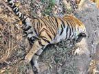 पेंच टाइगर रिर्जव में मृत मिला बाघ, पोस्टमार्टम के बाद किया गया अंतिम संस्कार|जबलपुर,Jabalpur - Dainik Bhaskar