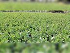 अफीम पर खिलने लगे फूल, फसल की सुरक्षा के लिए तीन महीनों तक खेतों पर रहेंगे किसान|चित्तौड़गढ़,Chittorgarh - Dainik Bhaskar