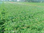 प्राकृतिक आपदा से बचाने के लिए नवाचार, अफीम के हर पौधे पर सरिये व रस्सी का सुरक्षा कवच लगाया|चित्तौड़गढ़,Chittorgarh - Dainik Bhaskar
