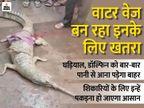 नारायणी गंडक से बाढ़ के बनारसी घाट पर पहुंचा घड़ियाल, लोगों ने बांधकर है रखा पटना,Patna - Dainik Bhaskar
