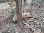 गुमतरा रेंज के कोर एरिया में मृत मिला टाइगर, 13 साल बताई जा रही है उम्र, बीमारी का दावा|जबलपुर,Jabalpur - Dainik Bhaskar