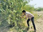 झाड़ियां काटने वाले मजदूर के नाम फर्जी कंपनी, 24 करोड़ की बोगस बिलिंग की|जोधपुर,Jodhpur - Dainik Bhaskar