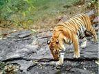 भोपाल के बाघ जा सकेंगे ओंकारेश्वर, बीच में आने वाले गांव को हटाने के बजाय लोगों को सिखाएंगे बाघों के साथ जीना भोपाल,Bhopal - Dainik Bhaskar