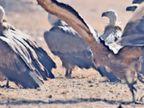 बीकानेर में दिखी दुर्लभ चिड़िया एबराेड बूशचैट, अब इस पर होगी स्टडी|बीकानेर,Bikaner - Dainik Bhaskar