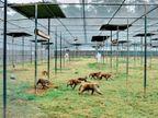 दोगुने दाम देने पर भी नहीं मिल रहे बंदर, वैज्ञानिकों ने कोरोना समेत कई बीमारियों का शोध रोका विदेश,International - Dainik Bhaskar