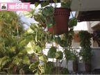 मिट्टी या पानी में उगा सकते हैं मनी प्लांट, दोनों के लिए इन टिप्स को अपनाएं|गार्डनिंग,Gardening - Dainik Bhaskar