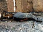 आग से खेत में खड़ी फसल और चार बकरियां जिंदा जलीं|नागौर,Nagaur - Dainik Bhaskar