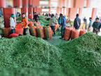 करसाेग से 45 रुपए किलाे में पहुंच रहा पहाड़ी मटर, आपको मिलेगा 60 से 70 रुपए में शिमला,Shimla - Dainik Bhaskar