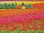 अमेरिका में सात करोड़ फूलों से खिली 55 एकड़ में फैली कार्ल्सबैड की घाटी, संक्रमण के डर से सीमित लोगों को दी जा रही एंट्री|विदेश,International - Dainik Bhaskar