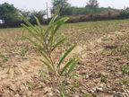 वातावरण में ऑक्सीजन कम न हो; इसलिए युवक ने 300 पौधे लगा सार-संभाल का किया संकल्प,अब ग्रामीणों के सहयोग से पूरे गांव में लगाएगा 5 हजार पौधे|नागौर,Nagaur - Dainik Bhaskar