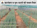 कोरोना के कारण फूलों की मांग हुई कम; चायल घाटी में तैयार खड़ी फसल, उत्पादक कहते हैं- कर्ज में डूब जाएंगे|हिमाचल,Himachal - Dainik Bhaskar