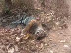 रातापानी सेंक्चुरी में 3 साल के बाघ की मौत, किस हाल में मिला बाघ, देखे वीडियो सीहोर फॉरेस्ट कर रही जांच होशंगाबाद,Hoshangabad - Dainik Bhaskar