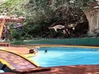 पुष्कर के तरणताल में बंदरों की अठखेलियां; ऊपर से नीचे पानी में लगा रहे छलांग, गर्मी से राहत पाने का कर रहे जतन|अजमेर,Ajmer - Dainik Bhaskar