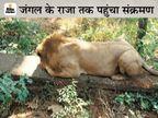 जयपुर चिड़ियाघर का बब्बर शेर त्रिपुर भी कोरोना संक्रमित, दो अन्य एशियाई शेर संदिग्ध; IVRI ने पुष्टि की|जयपुर,Jaipur - Dainik Bhaskar