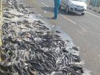 जबलपुर-कटनी हाइवे पर प्रतिबंधित थाई मांगुर से भरा ट्रक पलटा, मछली लूटने पहुंच गए ग्रामीण|जबलपुर,Jabalpur - Dainik Bhaskar