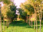 धनखर खेतों में पेड़ लगाने वालों को 10 हजार रुपया एकड़ देगी सरकार, ऐसे पेड़ों की कटाई-ढुलाई में लाइसेंस की जरूरत भी खत्म करने की तैयारी|रायपुर,Raipur - Dainik Bhaskar