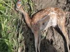 सरसावा में मृत मिला हिरण, ग्रामीणों का दावा गोली लगने से हुई मौत...पुलिस ने कहा-कुत्तों ने नोचा|मेरठ,Meerut - Dainik Bhaskar