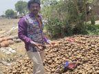 खेत से आलू निकालते समय भाव 6 से 8 रु. मिले, किसान ने आलू-प्याज घर पर ही स्टोर किया, लॉकडाउन के कारण अब गोबर के गड्ढे में डाले|इंदौर,Indore - Dainik Bhaskar