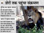 चेन्नई से सटे वंडालूर में जूलॉजिकल पार्क में 9 साल की शेरनी की मौत, 11 में से 9 शेर संक्रमित|देश,National - Dainik Bhaskar