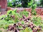 उदयपुर में पर्यावरण दिवस पर काटे गए हरे भरे पेड़, सामाजिक संगठनों के विरोध के बाद बंद हुई कटाई|उदयपुर,Udaipur - Dainik Bhaskar