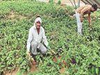 कोरोना में विदेश नहीं जा सका तो गांव में खेती शुरू की, 50 हजार महीना कमा रहा|मंडावा,Mandawa - Dainik Bhaskar