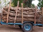 नहरी क्षेत्रों में हरे पेड़ों की जमकर हो रही है कटाई, लूणकरनसर में हर रोज पहुंच रहे सैकड़ों पेड़, बड़ी संख्या में अवैध कारोबार बीकानेर,Bikaner - Dainik Bhaskar