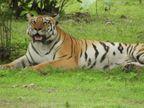 भेड़ियों के जंगल में राधा-किशन ने बढ़ाया बाघों का कुनबा, 3 शावकों के साथ अठखेलियां करते नजर आती है बाघिन राधा|सागर,Sagar - Money Bhaskar