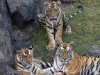 बाघों की दहाड़ से गूंज रहे सतपुड़ा के जंगल; आराम करते नजर आए एक साथ 4 बाघ, एसटीआर में बढ़ रहा बाघों का कुनबा होशंगाबाद,Hoshangabad - Money Bhaskar