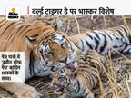 रिजर्व पार्क से निकलकर बाघों नेभेड़ियों से लेकर नक्सलियों के गढ़ में डाला डेरा; क्वीन ऑफ पेंच के नाम दो वर्ल्ड रिकॉर्ड भी|मध्य प्रदेश,Madhya Pradesh - Money Bhaskar