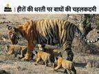 पन्ना टाइगर रिजर्व में एक समय खत्म हो गए थे बाघ, 2009 में 1 बाघ और 2 बाघिन दूसरी जगह से लाए; अब संख्या 70 के पार|सागर,Sagar - Money Bhaskar
