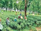 प्रोसेसिंग, ब्रांडिंग और मार्केटिंग खुद करेंगी, 3 साल बाद शुरू होगा उत्पादन; 14 जून को मिला था प्रमाणपत्र|किशनगंज (बिहार),Kishanganj (Bihar) - Money Bhaskar