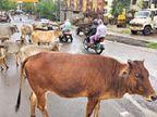 निगम का दावा... हर दिन 80 से ज्यादा आवारा मवेशी पकड़ते हैं; हकीकत... 3000 मवेशी सड़कों पर, इनसे रोज होते हैं 20 हादसे|भोपाल,Bhopal - Money Bhaskar