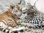 मप्र में बाघ से अधिक हो रही है तेंदुओं की मौत, 6 महीने में 56 ताेड़ चुके दम, तंत्र क्रिया में दांत-मूंछ के बाल के लिए करते हैं शिकार|भोपाल,Bhopal - Money Bhaskar