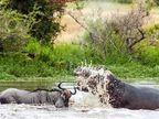 मगर करत होती वाइल्डबीस्टची शिकार, वाचवण्यासाठी पुढे सरसावला पाणघोडा| - Divya Marathi