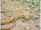 अमरावती शहरातून एका दिवसात पंधरा साप सुरक्षितस्थळी, पाहा PHOTOS|अमरावती,Amravati - Divya Marathi