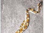 साप दिसताच सर्पमित्रांना बोलवा|अमरावती,Amravati - Divya Marathi