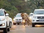 थरारक दृश्य: रस्त्यावर कारच्या मधोमध दोन सिंहांनी क्रूरतेने केली हरणाची शिकार| - Divya Marathi
