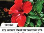 जास्वंदीच्या झाडाचे हे 10 फायदे, तुम्हाला माहित असायलाच हवेत..|जीवन मंत्र,Jeevan Mantra - Divya Marathi